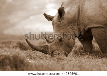 A close up photo of an endangered white rhino / rhinoceros face,horn and eye. South Africa - stock photo