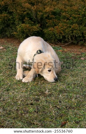 a close-up photo of puppy of golden retriever sniffing something - stock photo