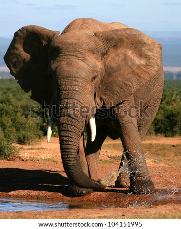 A close up portrait of a African elephant splashing,playing and drinking at a waterhole. Taken on safari in Addo elephant national park,eastern cape,south africa - stock photo