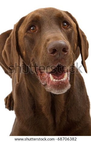 A close-up portrait of a chocolate Labrador retriever dog isolated on white