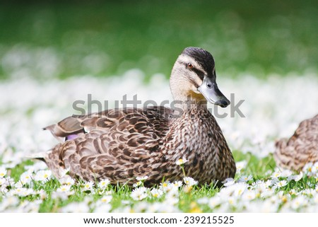 A close up portrait of a female Mallard Duck on a Daisy Flowers - stock photo
