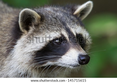A close-up portrait of an adult raccoon - stock photo