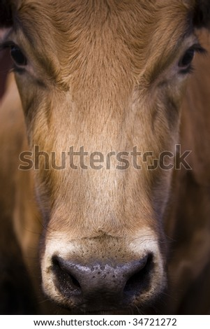 A close-up portrait shot of a cow.