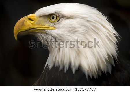 A close up profile of a bald eagle, isolated on a black background. - stock photo