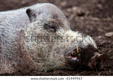 A close up profile of a Bearded Pig