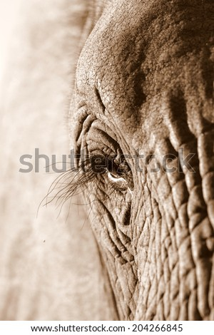 A close up sepia tone abstract image of an elephants face. - stock photo