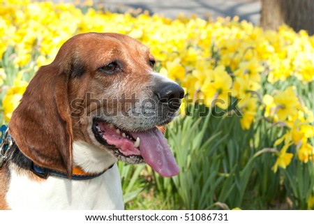 A close up shot of a beagle dog posing near a field of yellow daffodils in the spring time. - stock photo