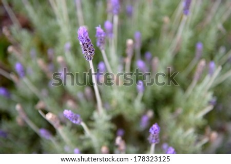 A close up shot of a lavender bush - stock photo