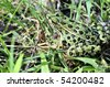 A close-up shot of a leopard frog in the grass. - stock photo