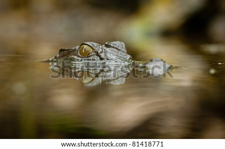 A close-up shot of a salt water crocodile (Crocodylus porosus) with reflection in the water - stock photo