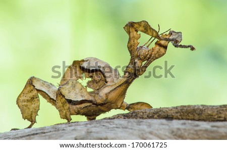 A close-up shot of a Spiny leaf insect - stock photo