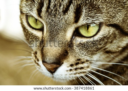 a close up shot of a striped cats face showing its green eyes and detail of fur - stock photo
