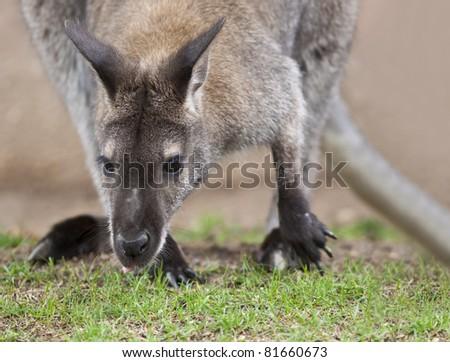 A close up shot of a Wallaby