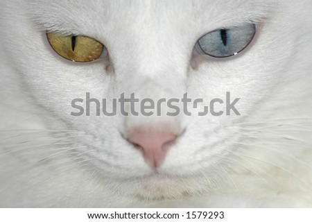A close-up shot of a white cats face. The cat has one golden eye and one blue one.