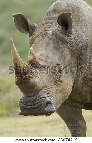 A close-up shot of a white rhinoceros male. - stock photo