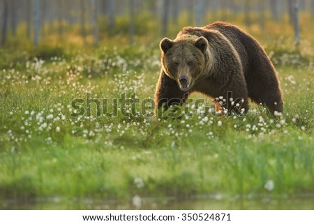 A close up shot of a wild big male brown bear in the flowering grass stared directly at the camera. Blurry arctic european forest in background, lit by early morning colorful light . - stock photo