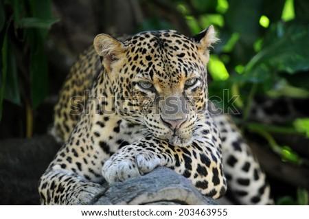 A close up shot of an African Leopard - stock photo