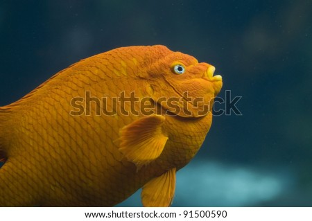 A close-up shot of an orange Garibaldi fish.