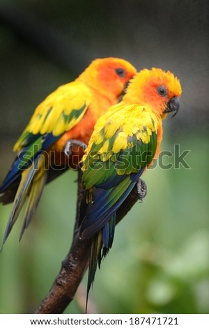 A close up shot of Conures