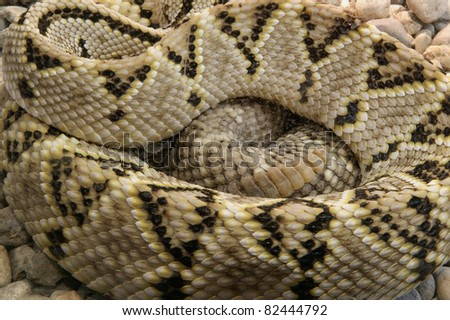 A close-up shot rattlesnake, curled up in the ring - stock photo