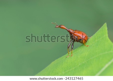 A close-up side view  female giraffe weevil Paracycnotrachelus sp. Image has grain or noise and soft focus when view at full resolution. (Shallow DOF, slight motion blur ) - stock photo