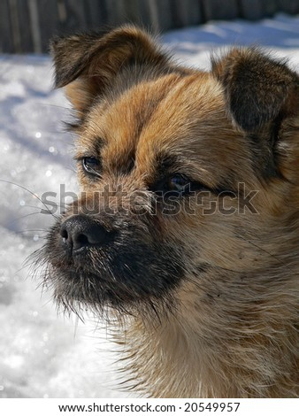 A close up the small snub-nosed dog with small sparse beard.