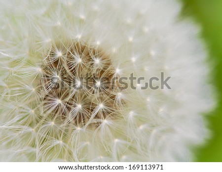 A close up view of a beautiful dandelion blossom in a fresh spring garden. - stock photo