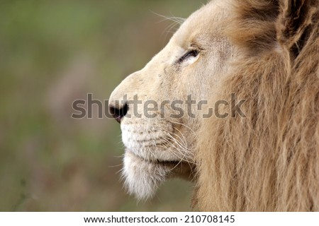 A close up view of a big male white lions face. Side photo. - stock photo