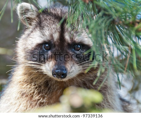 A close-up view of a cute  raccoon sitting on the tree. - stock photo