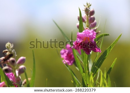 A close up view of a desert willow flower bloom. - stock photo