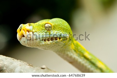A close-up view of a Green tree python. - stock photo