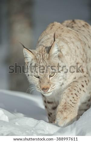 A close up view of a Lynx walking through deep snow. - stock photo