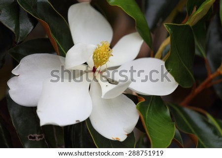A close up view of a magnolia flower in full bloom.  - stock photo