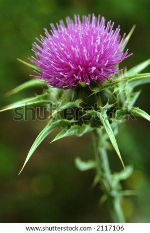 a close up view of a marianum thistle - stock photo
