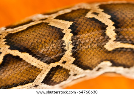 A close-up view of a pattern of a Burmese python scale. - stock photo