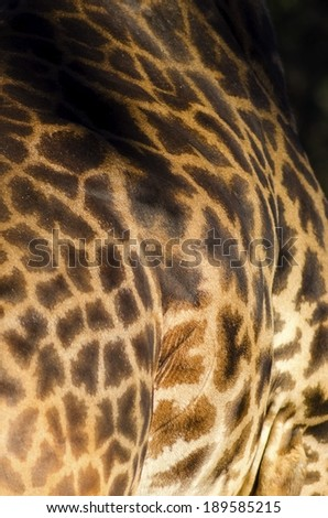 A close up view of a Rothschild giraffe body skin. The Giraffa camelopardalis's skin is golden beige in colour with large brown orange spots - stock photo
