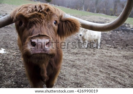 A close-up view of a Scottish Highland cow.
