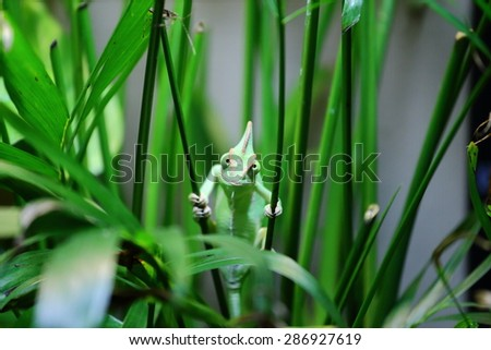 A close up view of a veiled chameleon looking at the camera cross eyed.  - stock photo