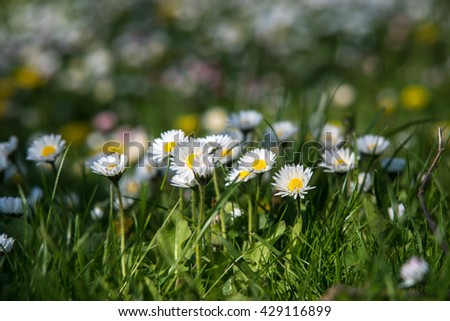 A close up view of blooming daisies in the grass in the sun - stock photo