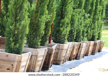 A close up view of many Italian Cypress tree being grown in a row.