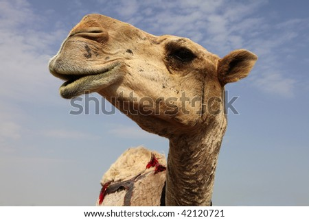 A close-up view of the head of a dromedary camel, against a slightly cloudy sky - stock photo