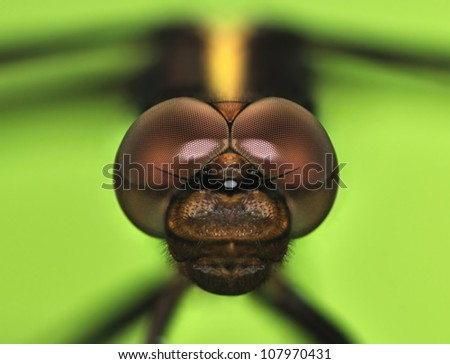 A close-up view of the head of a female Widow Skimmer dragonfly (Libellula luctuosa), shot with a macro lens and extension tubes. - stock photo