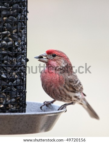 A closeup image of a male House Finch feeding on a Sunflower seed. - stock photo