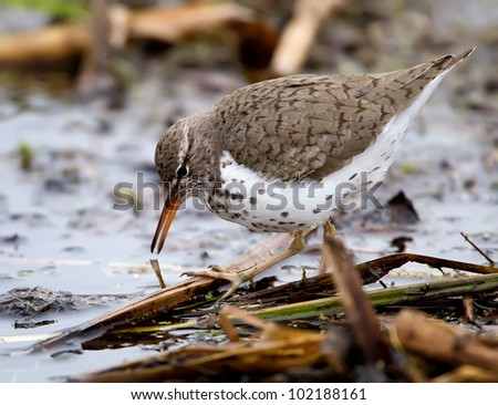 A closeup image of a Spotted Sandpiper feeding in a marshland.