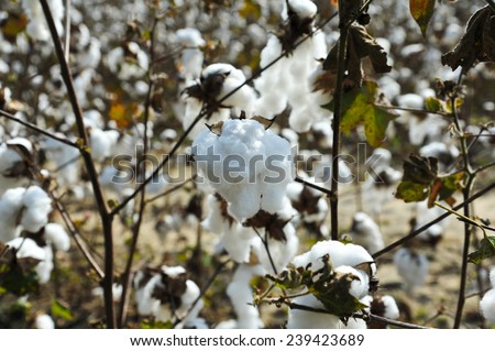 A Closeup Look at a Cotton Boll in the Field  - stock photo