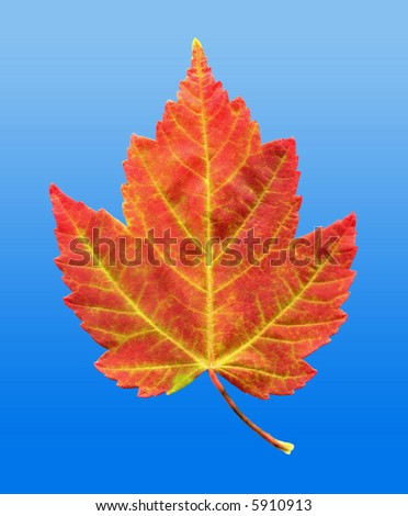A closeup macro photo of a Red Maple Leaf as it is in the process of changing colors during the Autumn season on a clear blue sky background - stock photo