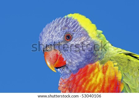 a closeup of a beautiful Rainbow Lorikeet, Trichoglossus haematodus, with a blue sky background