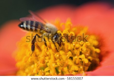 a closeup of a bee seeking nectar in a flower.
