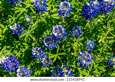 A Closeup of a Cluster of the Famous Texas Bluebonnet (Lupinus texensis) Wildflowers. - stock photo