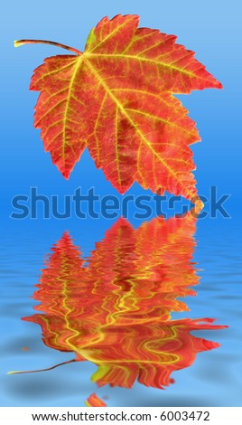 A closeup of a colorful Red Maple Leaf during the Fall or Autumn season as it is in the process of falling into water. - stock photo